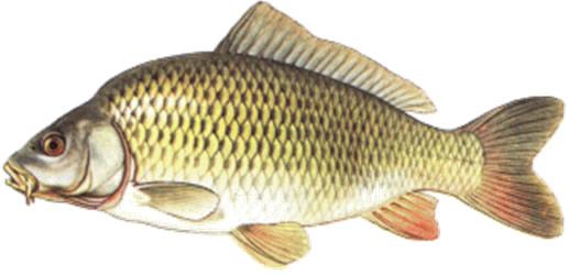 Kapr Obecny Chov Ryb Sedlnice